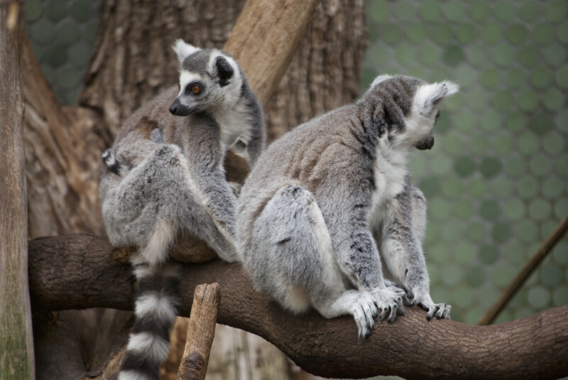 Two Ring-Tailed Lemurs