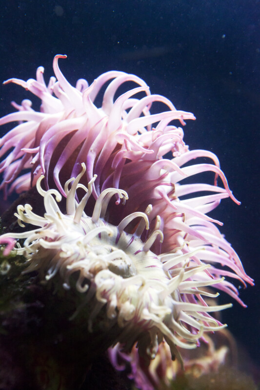 Two Sea Anemones at the New England Aquarium