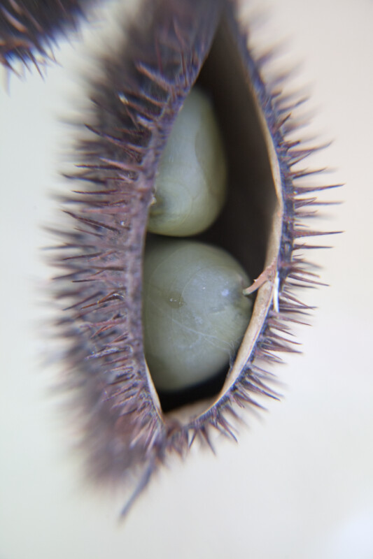 Two Seeds in a Spiky Pod