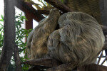 Two Sloths Sleeping