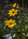 Two Tickseed Flowers
