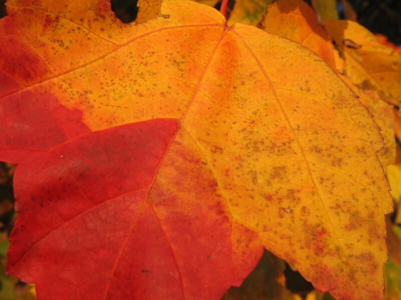 Two-Toned Autumn Leaf