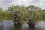 Two Trees Growing in Shallow Water at Anhinga Trail of Everglades National Park