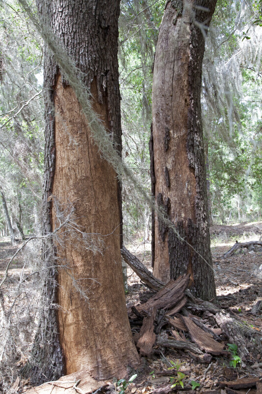 Two Trees with Shaved Trunks