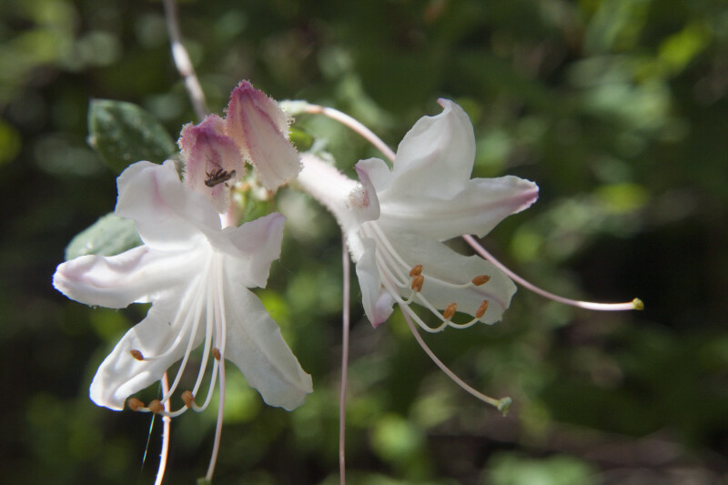 Two White Azalea Flowers
