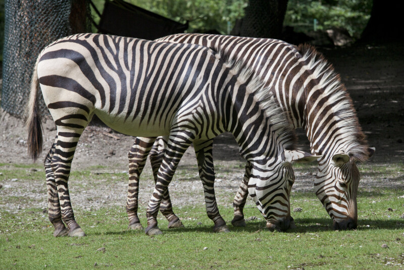 Two Zebras Foraging