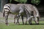 Two Zebras Foraging