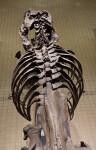 Tyrannosaurus Rex Skeleton at the Pittsburgh Airport