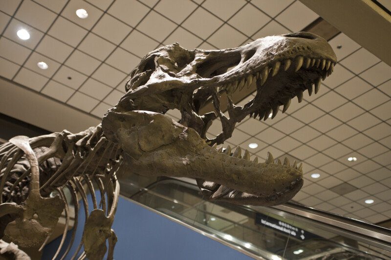 Tyrannosaurus Rex Skull at the Pittsburgh Airport