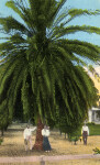 Under the Old Palm Tree in St. Petersburg, Florida