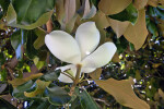 Underside of a White Magnolia Flower
