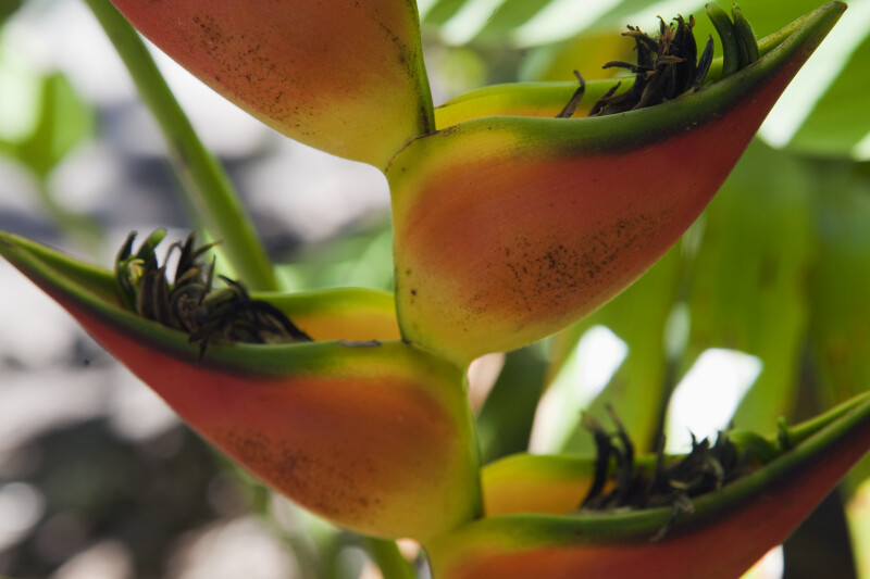 Up-Close View of a Heliconia orthotricha Flower