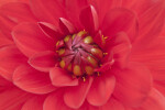 Up Close View of Dahlia Flower