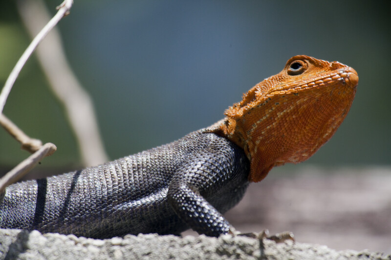 Upper Portion of a Rainbow Lizard