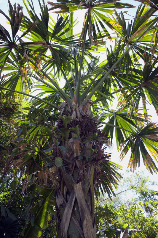 Upper Portion of Palm Tree