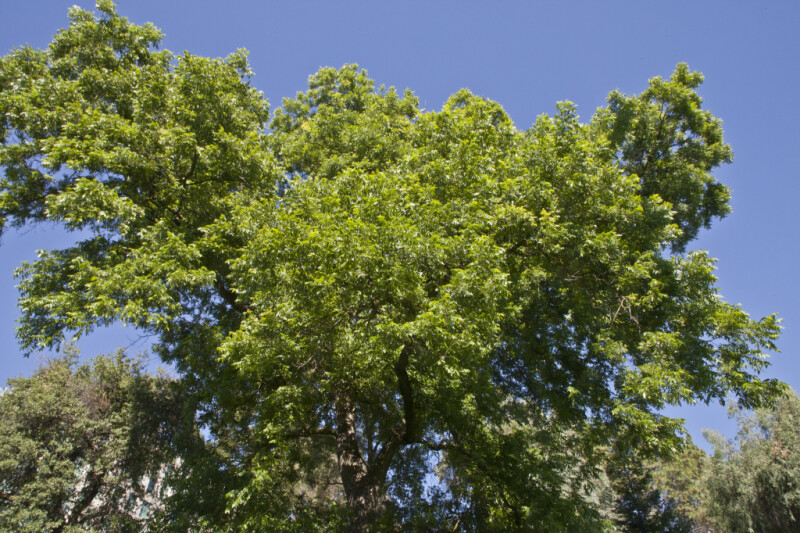 Upper Portion of Pecan Tree