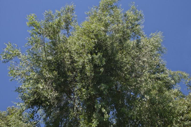 Upper Portion of Red Ironbark Tree