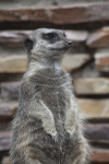 Upright Slender-Tailed Meerkat at the Artis Royal Zoo