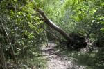 Uprooted Gumbo-Limbo Tree Leaning Over a Path at Long Pine Key of Everglades National Park