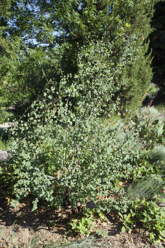 Utah Serviceberry