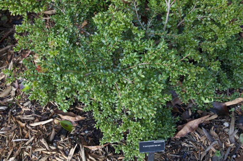 Vaccinium Plant
