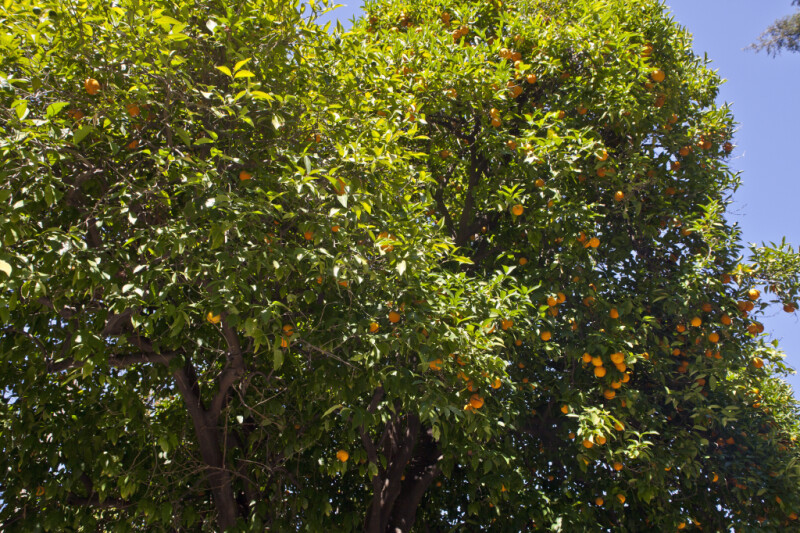 Valencia Orange Tree at Capitol Park in Sacramento