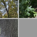 Valley Live Oak Trees photographs