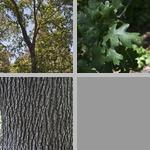Valley Live Oak Trees photographs