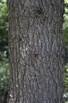 Valley Oak Bark
