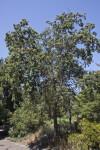 Valley Oak Tree