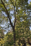 Valley Oak Tree at the UC Davis Arboretum
