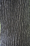 Valley Oak Tree Trunk Close-Up