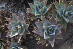 Variegated Aloe Plants at the Rancho Los Alamitos Historic Ranch and Gardens
