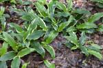 Variegated Ginger Lily at the Kanapaha Botanical Gardens