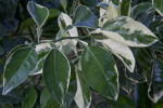 Variegated Minneola Tangelo Leaves