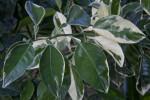 Variegated Minneola Tangelo Leaves