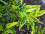 Variegated Potato Vine