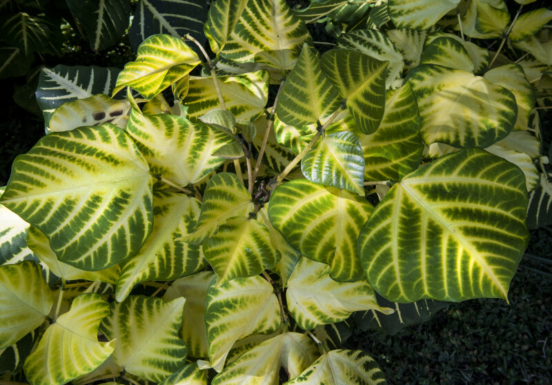 Variegated Sunshine Tree Leaves