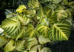 Variegated Sunshine Tree Leaves