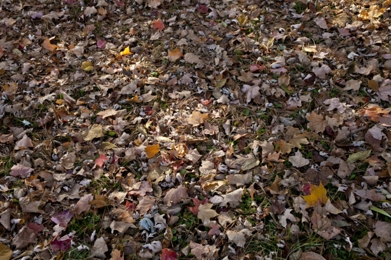 Variety of Fallen Leaves at Evergreen Park