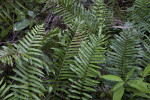 Various Ferns with Pinnate Leaves