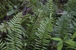 Various Ferns with Pinnate Leaves