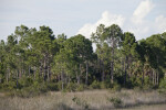 Various Pine Trees at the Big Cypress National Preserve