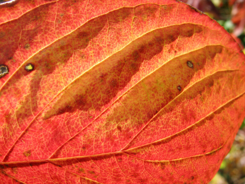 Veins and Color of Autumn Leaf