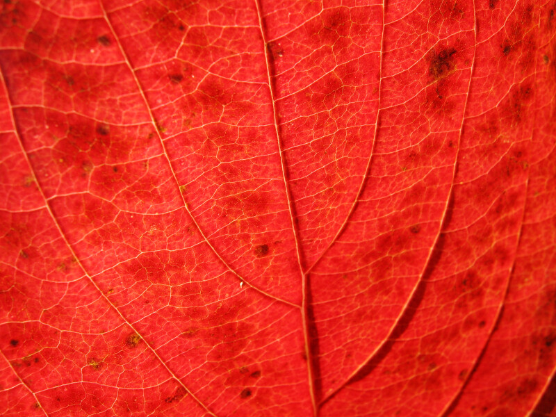Veins of a Red Autumn Leaf