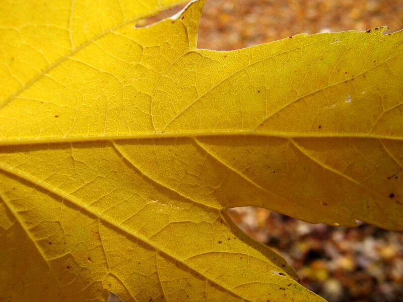 Veins of a Yellow Leaf