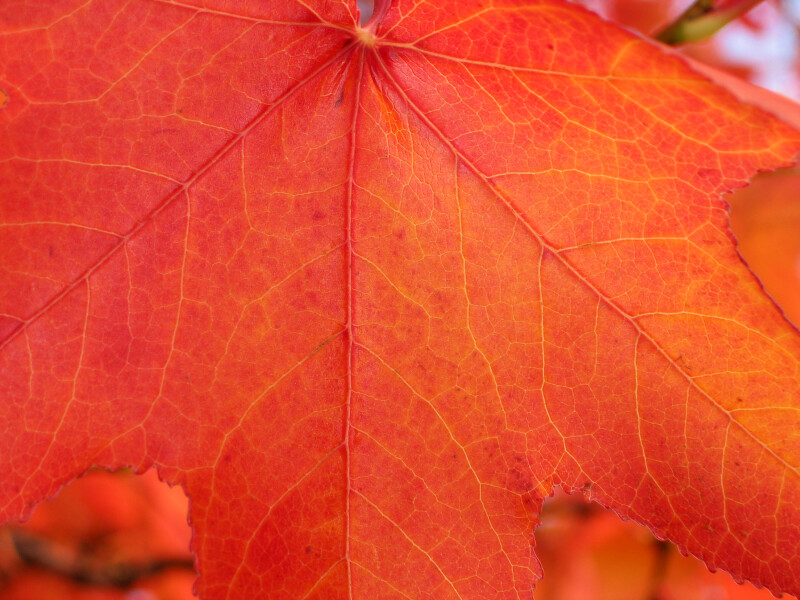 Veins of Red-Orange Autumn Leaf