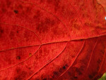 Veins of Red Autumn Leaf