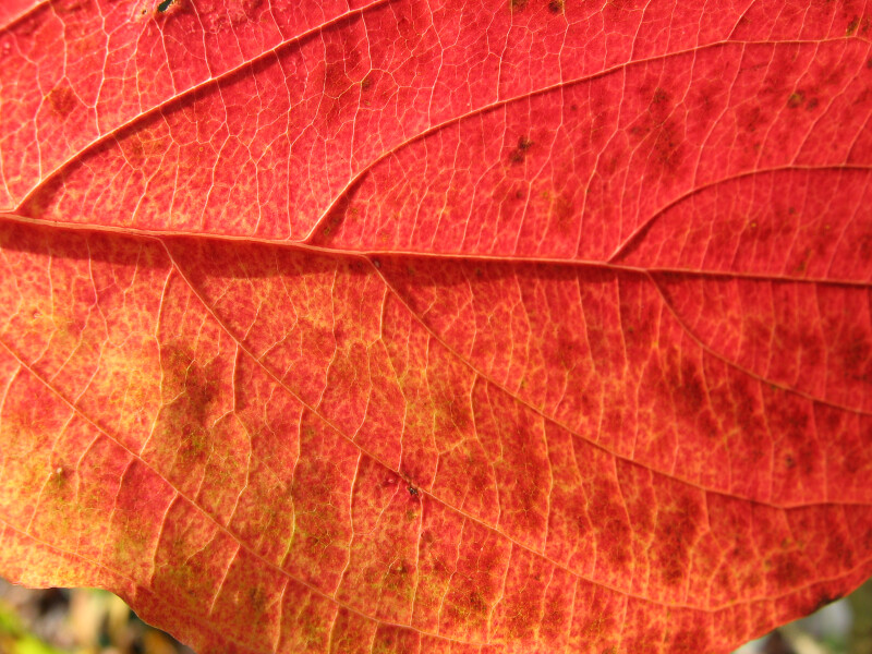 Veins of Reddish-Orange Leaf