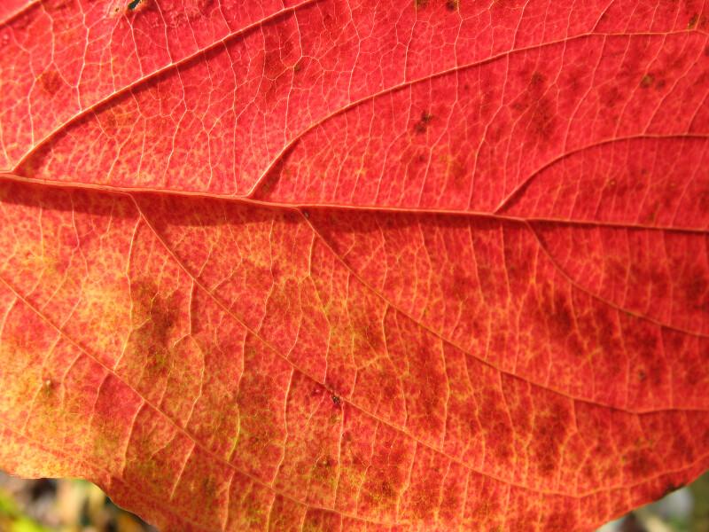 Veins of Reddish-Orange Leaf
